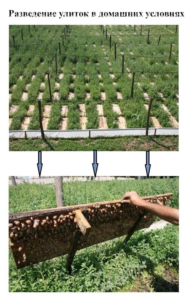 Бизнес выращивание виноградной улитки 9